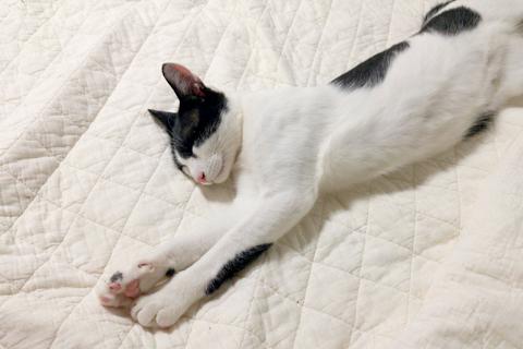 パシーマ猫